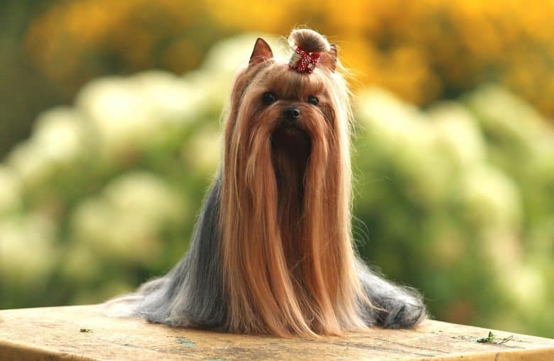 Long-haired Yorkshire Terrier dog