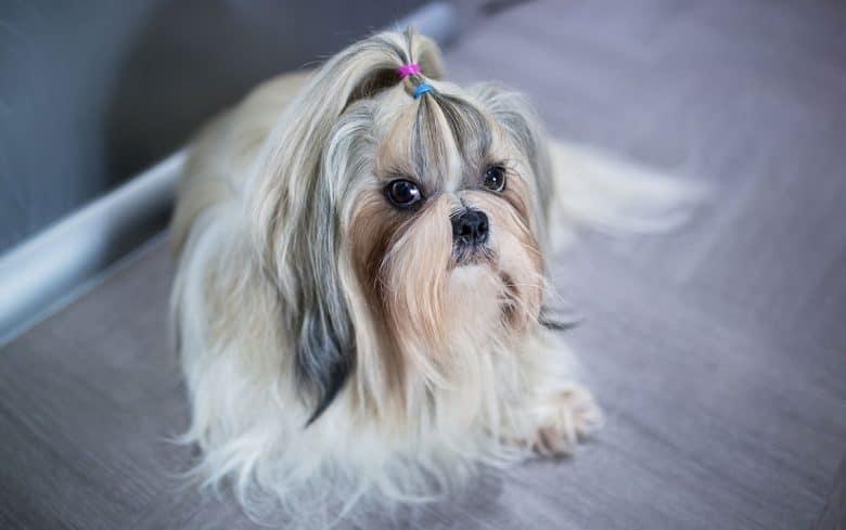 Shih Tzu dog in ponytail hairstyle