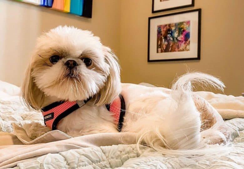Shih Tzu dog lying on the bed