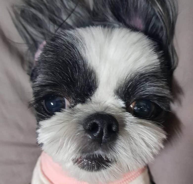 Shih Tzu puppy with blue eyes