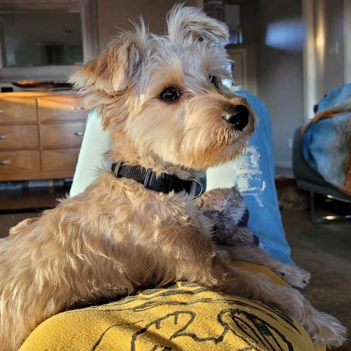 Yorkie and Miniature Poodle mix dog