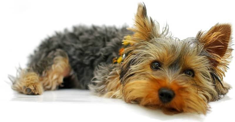 The Yorkshire Terrier — What to Expect of This Dog Breed - K9 Web