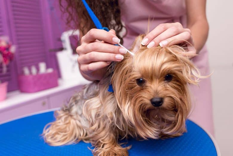 Yorkshire Terrier dog ear cleaning