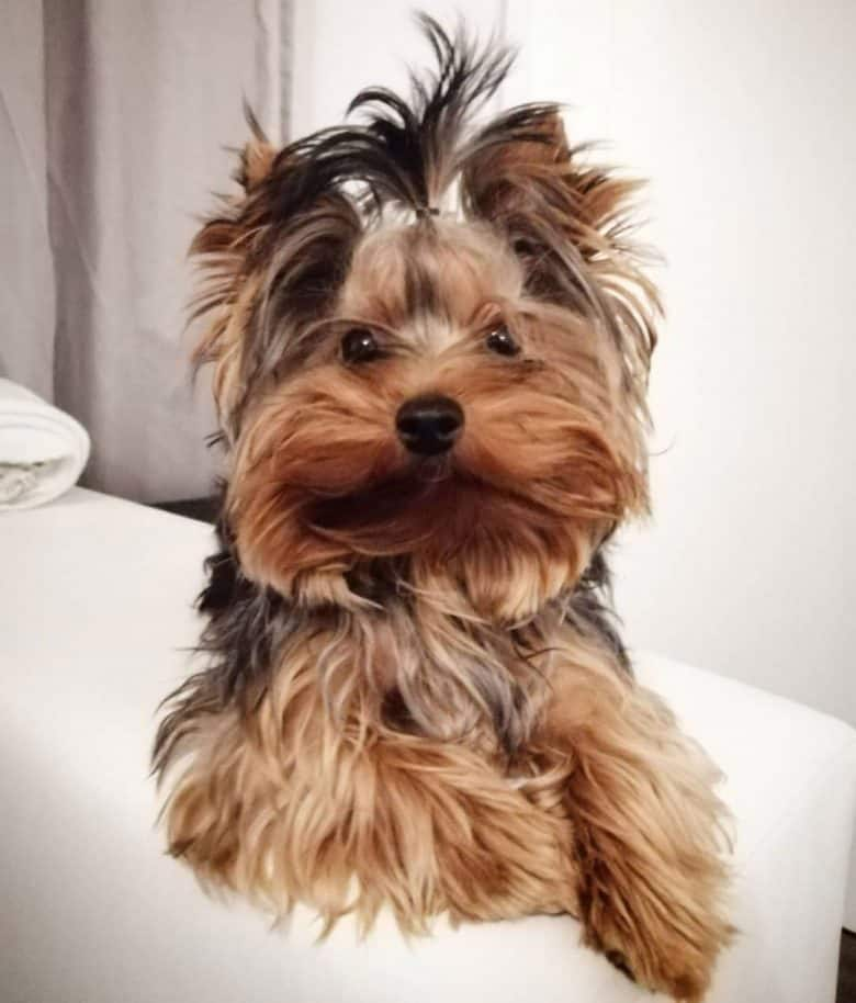 Yorkshire Terrier dog lying on the bed