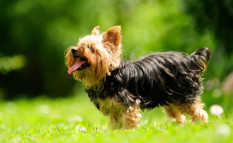 Yorkshire Terrier playing outside