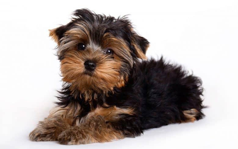 Yorkshire Terrier puppy portrait