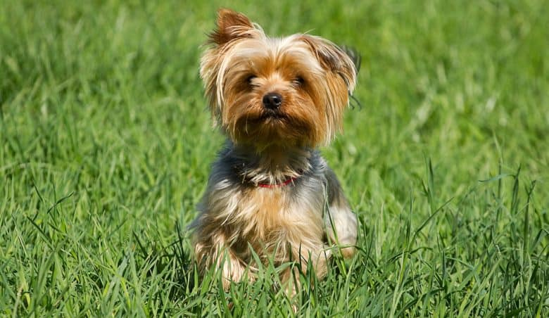 Yorkshire Terrier walking on the grass