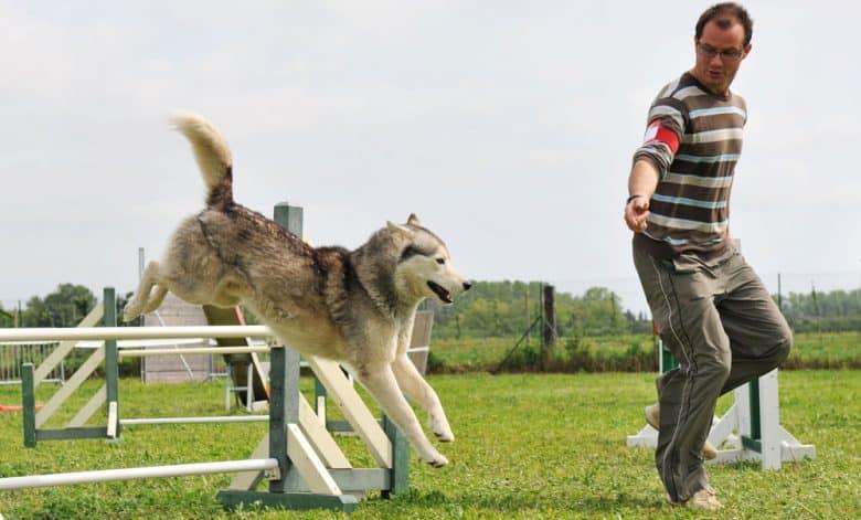 A Siberian Husky dog undergoes agility training
