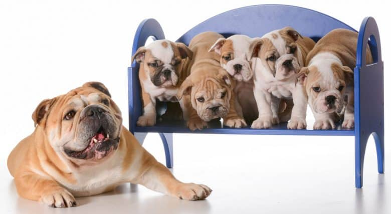 English Bulldog mother laying beside a litter of puppies