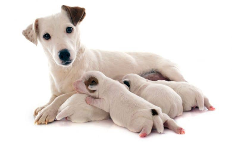 Jack Russel Terrier mother dog and her puppies