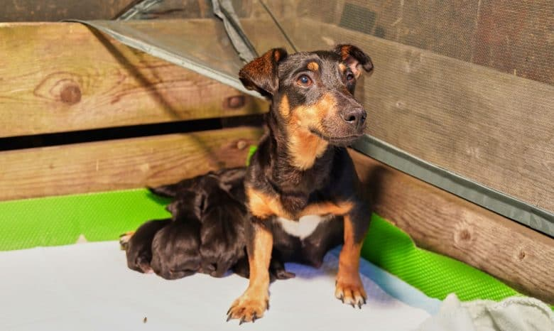 Mother dog with litter of newborn Jack Russel Terrier puppies