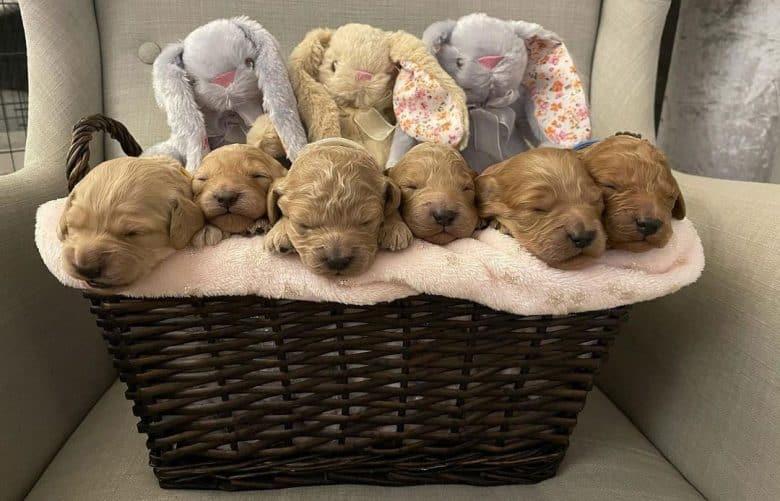 Six newborn puppies inside the basket