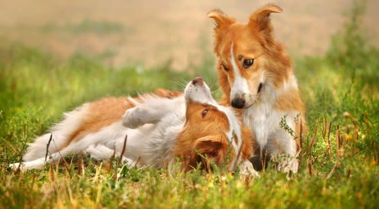 Two happy Border Collie dogs playing on the grass