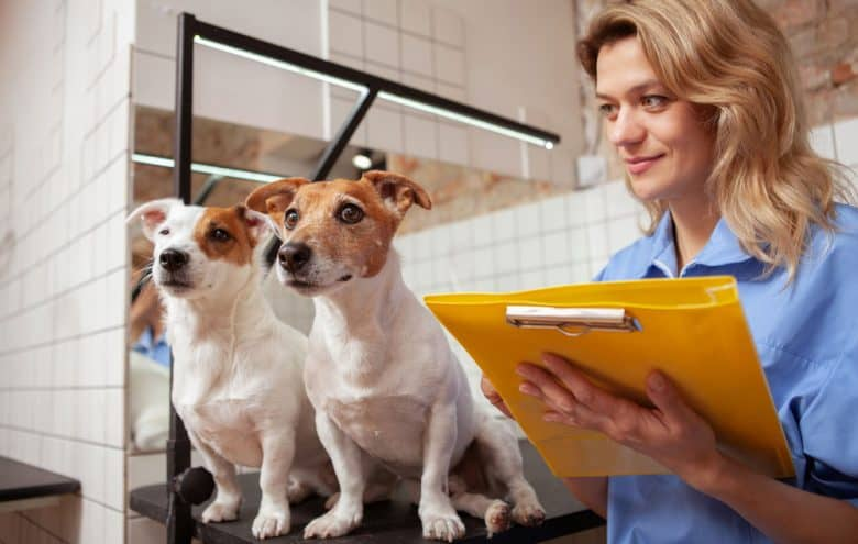 Veterinarian examining two Jack Russel Terrier dogs