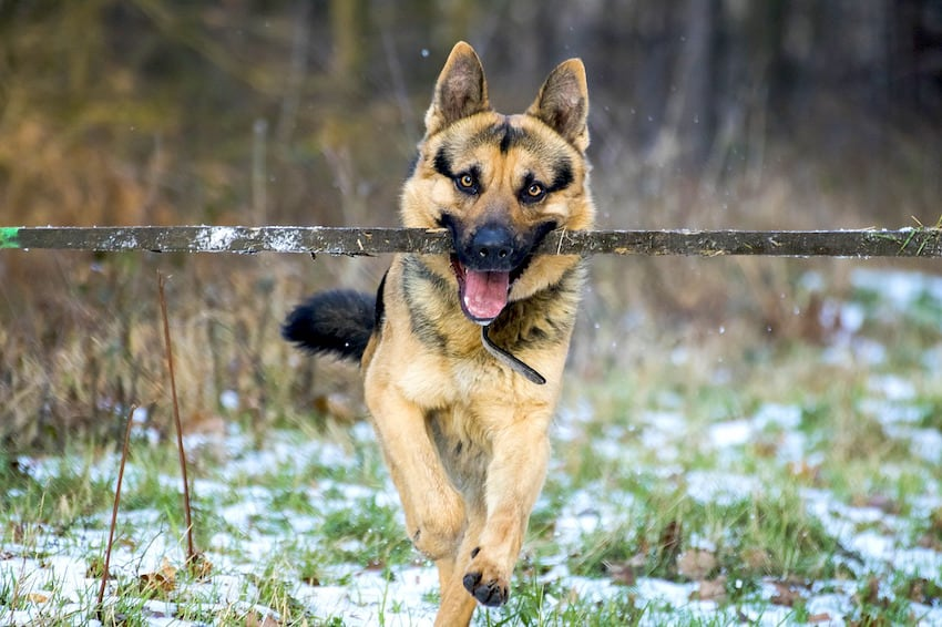 A German Shepherd running with a stick n its mouth