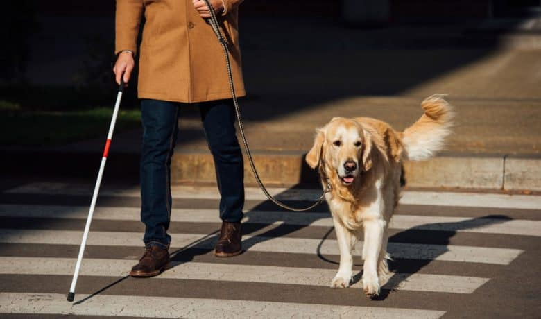 Service dog working as guide to blind man on crosswalk