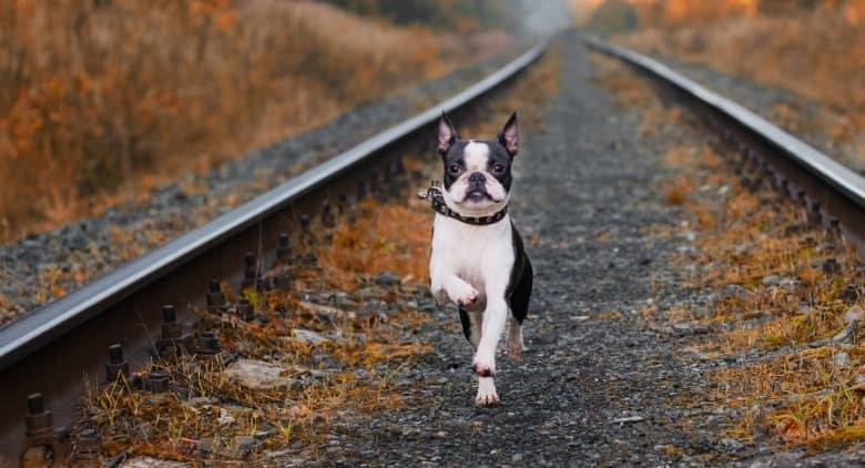 Active Boston Terrier dog running on abandoned railway track