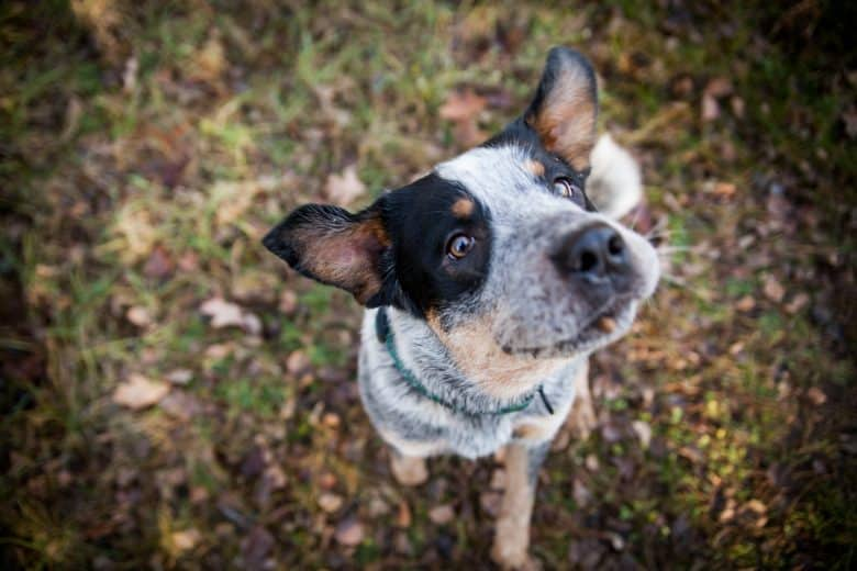 Adorable Australian Cattle Dog looking towards its owner