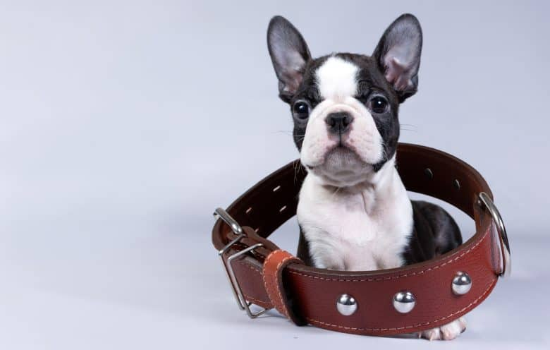 Adorable Boston Terrier dog in a large collar
