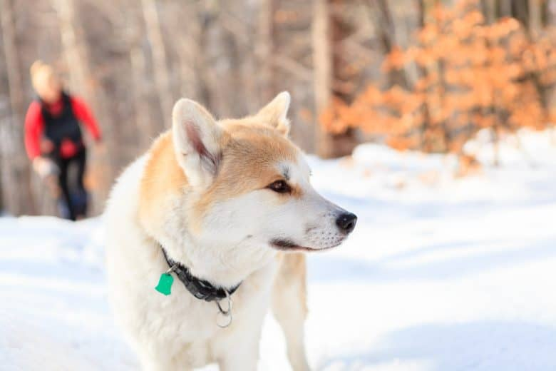 A picture of a woman and Akita dog walking in a snowy, winter forest