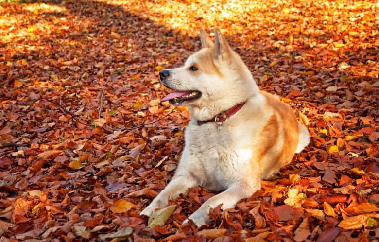 A picture of Akita dog sitting on the fallen leaves in a forest