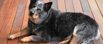 Australian Cattle Dog lying on wooden floor with a smart look