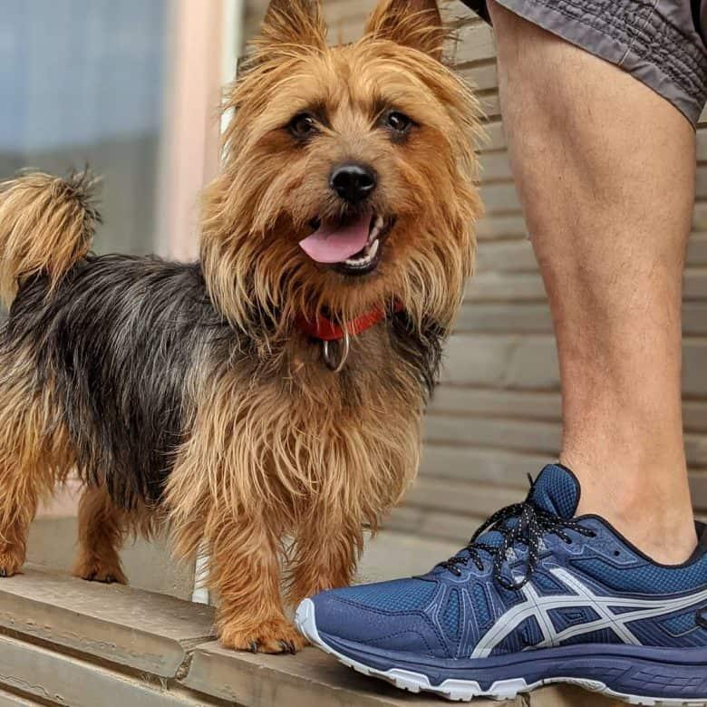 Australian Terrier going out on an adventure