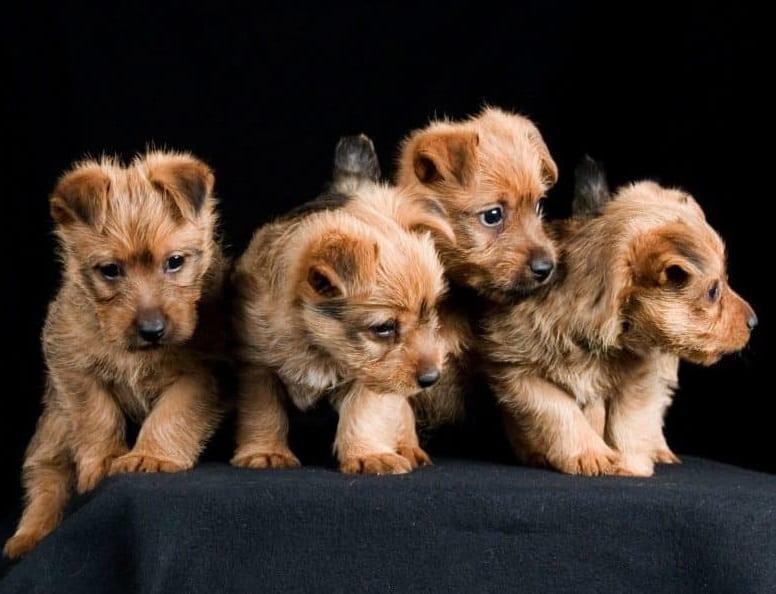 Four Australian Terrier puppies