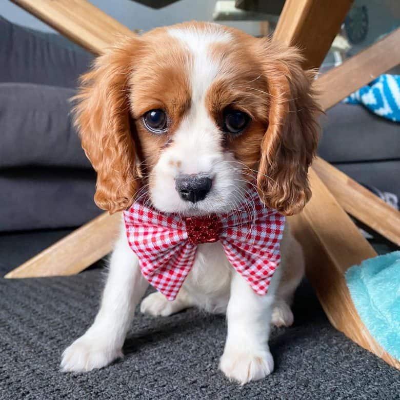 Beagle Cavalier King Charles Spaniel Mix named Lola