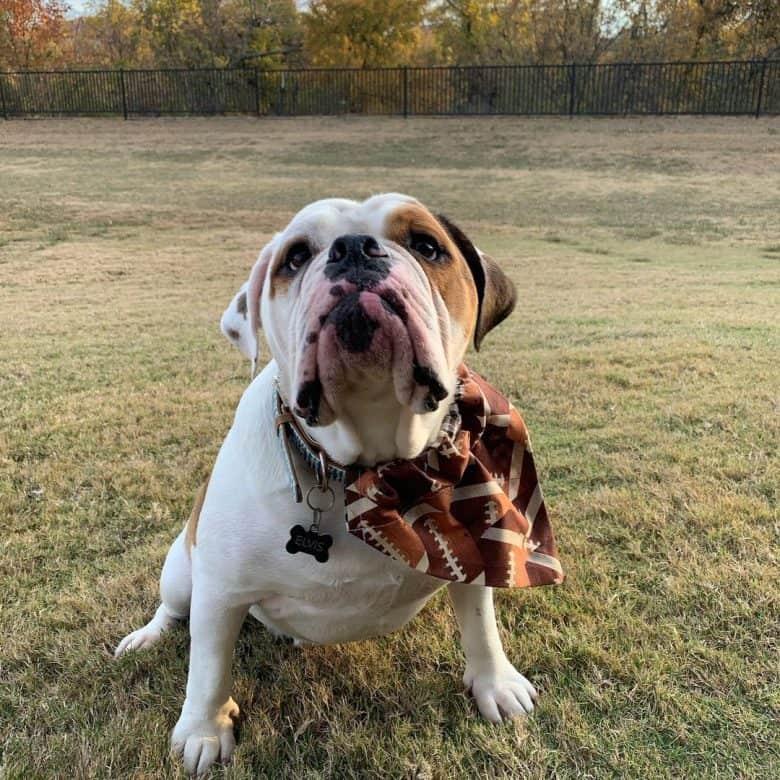 Beagle English Bulldog Mix named Elvis