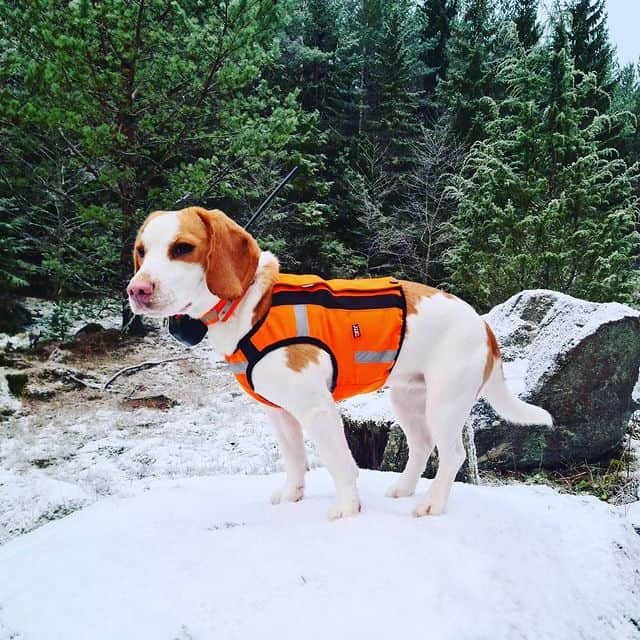 Beagle ready for winter hunt