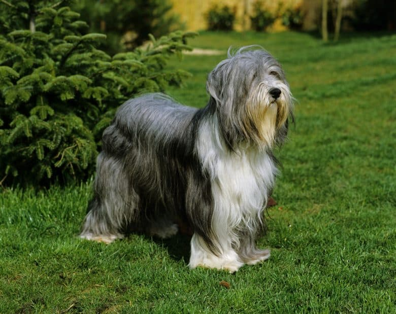 Bearded Collie dog standing on lawn