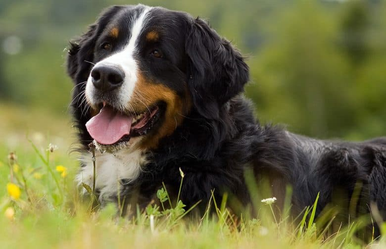 Bernese Mountain dog resting on a meadow