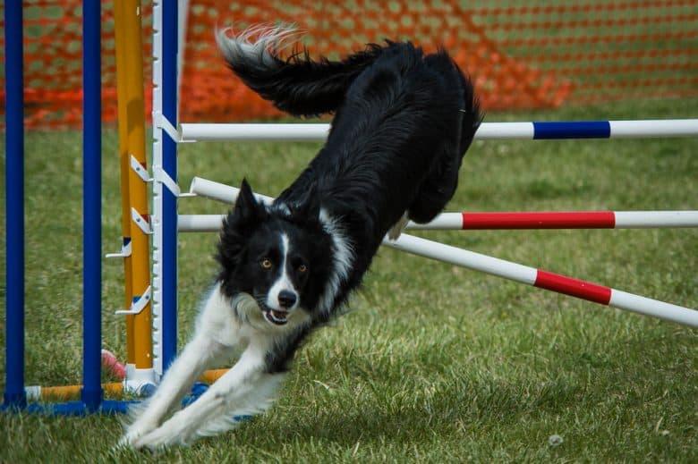 A Border Collie dog in an agility jump training