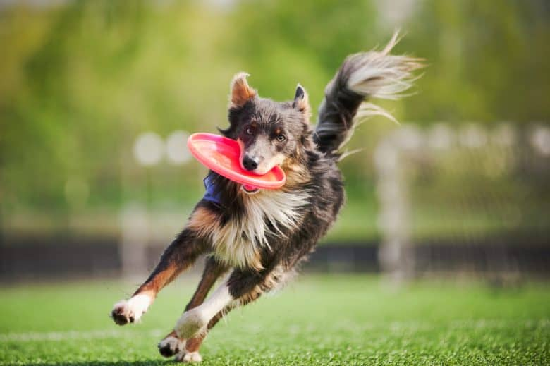 A Border Collie dog running and catching the flying disc