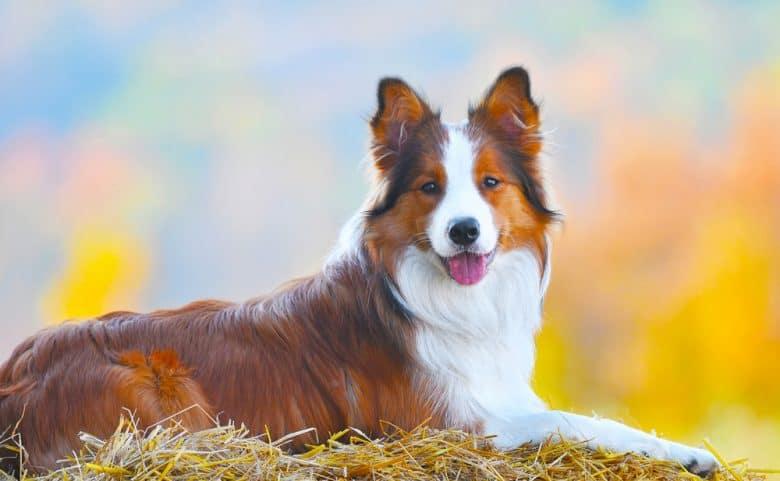 Border Collie dog lie on hay