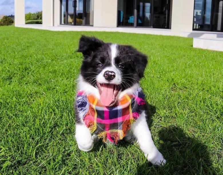 Border Collie puppy wearing bandana