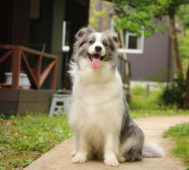 Border Collie sitting on the walkway