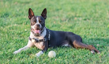 Cheerful Boston Terrier dog relaxing in the park