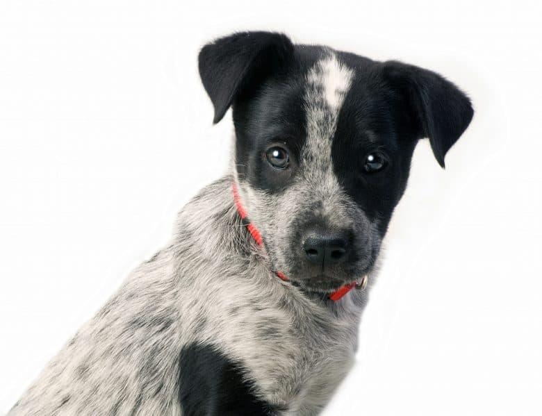 Close-up portrait of Blue Heeler or Australian Cattle Dog puppy