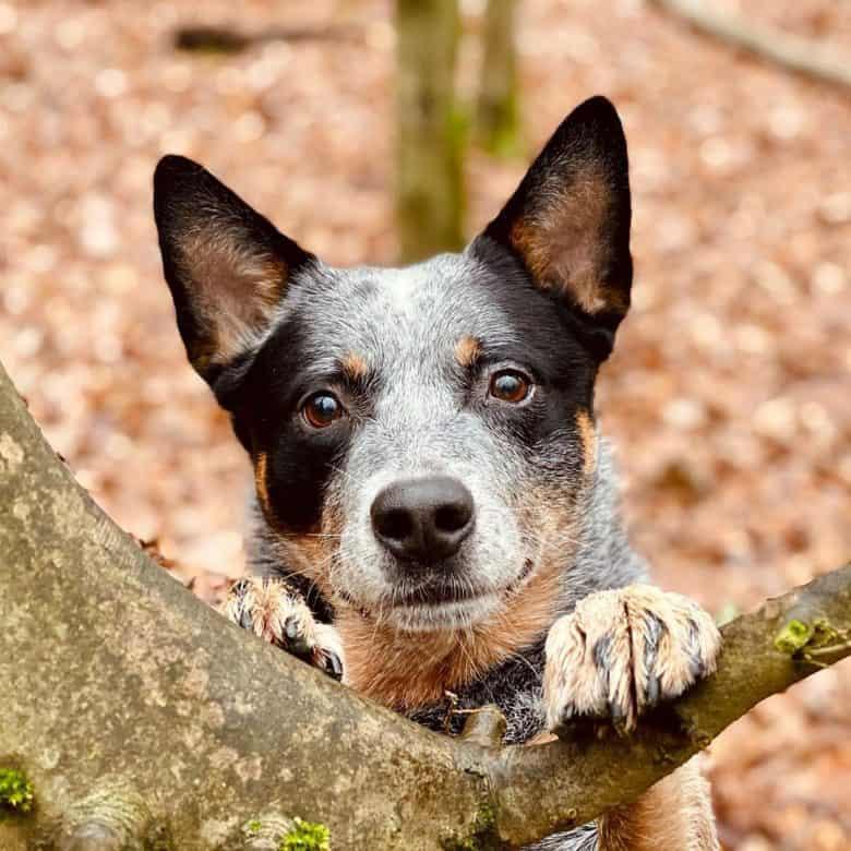 Close-up portrait of playful Australian Cattle Dog