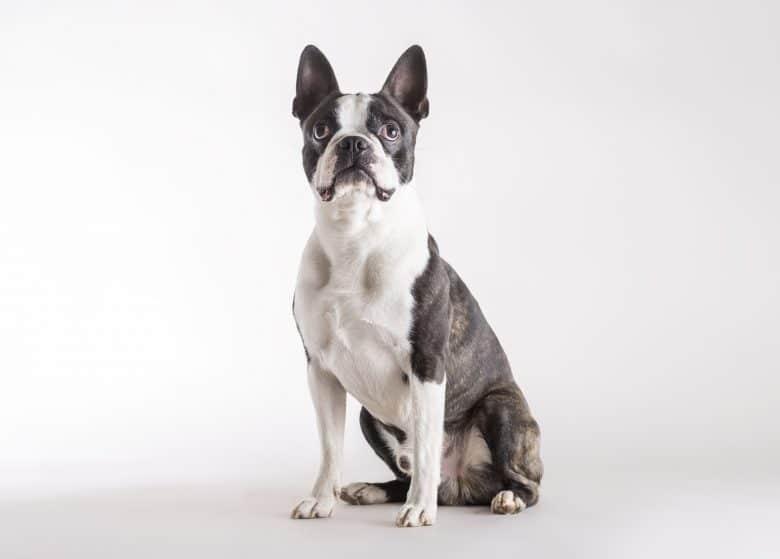 Curious Boston Terrier dog looking upward