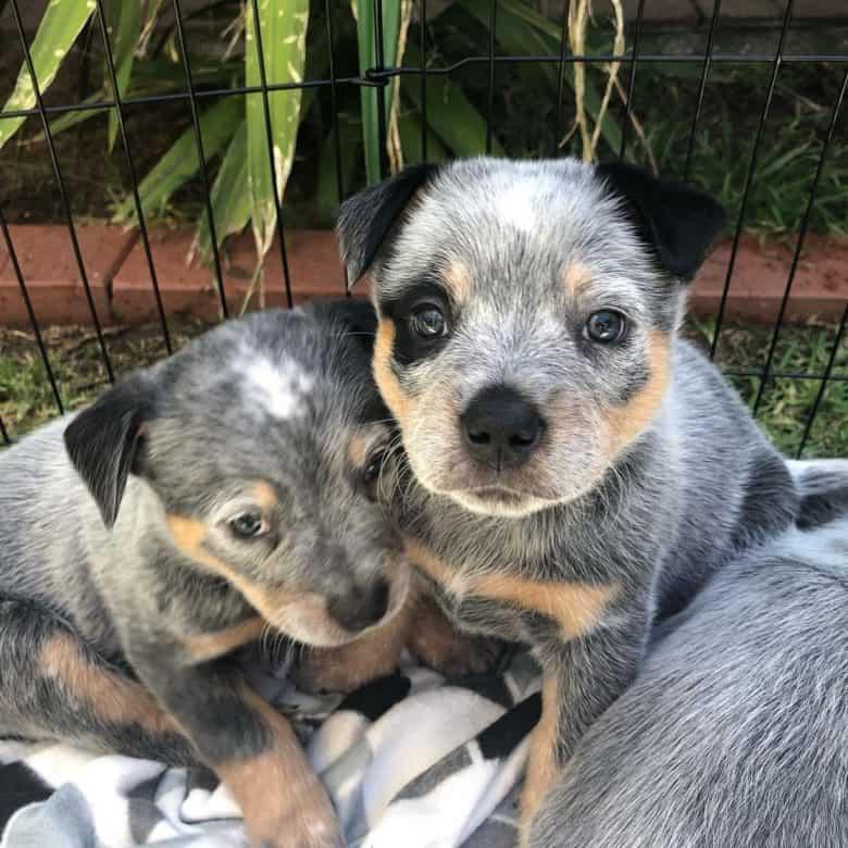 Cute Australian Cattle Dog puppies
