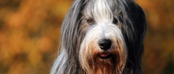 Cute Bearded Collie close-up