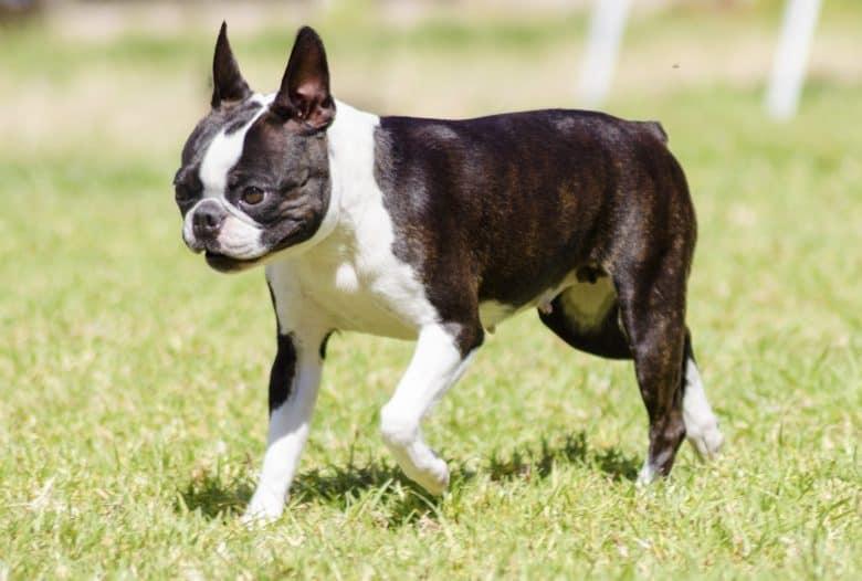 Cute Boston Terrier dog walking on the grass