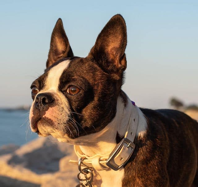 Cute Boston Terrier dog looking at the sunset