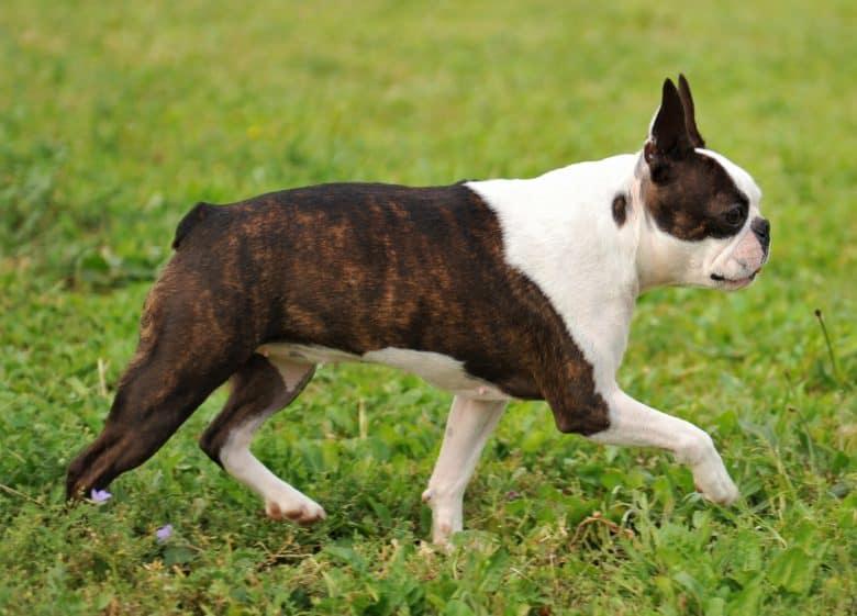 Cute Boston Terrier dog running on the grass
