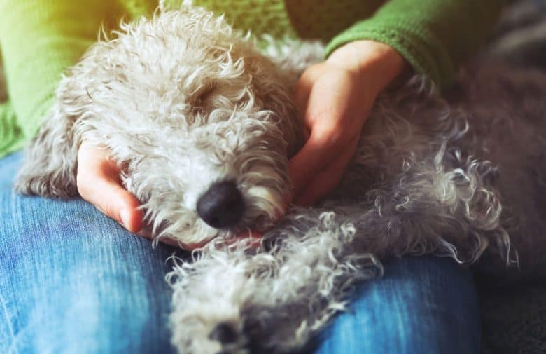 Cute dog sleeping on the owner's lap