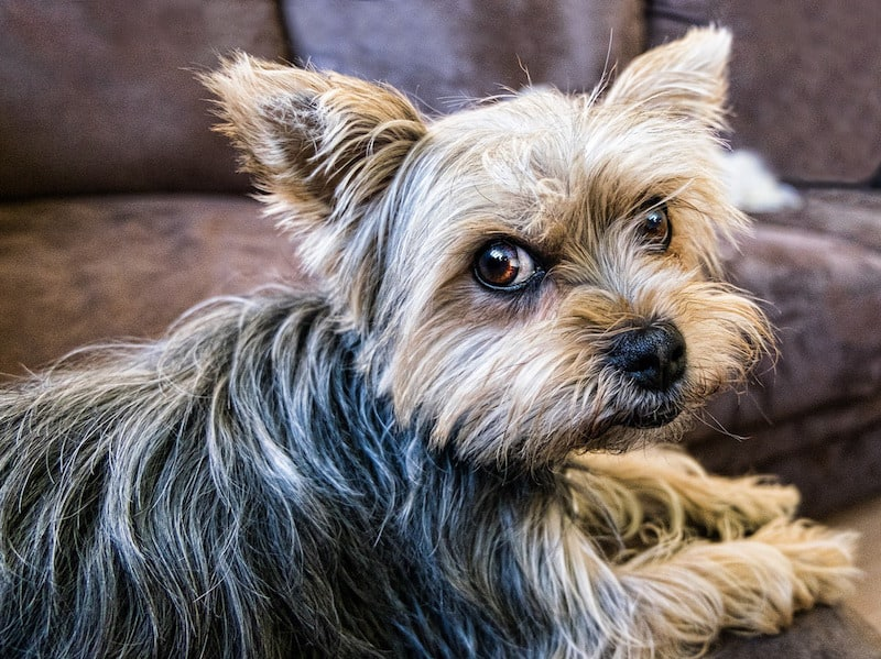 The Yorkshire Terrier What To Expect
