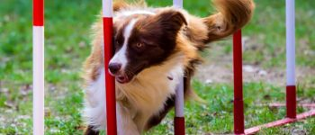 Red Border Collie undergoing dog agility training